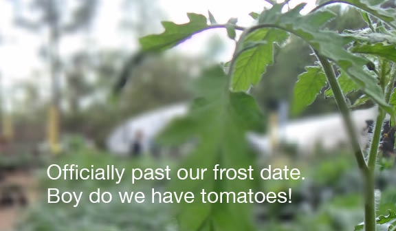 06 Tomatoes