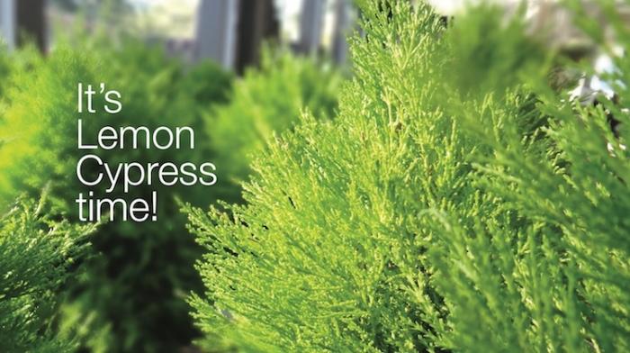 Lemon Cypress Time sm