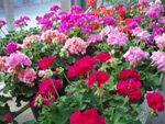 Purchase annuals from Martin Nursery