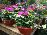 Container Gardens available at Martin Nursery