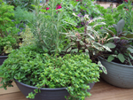 buy herbs from Martin Nursery