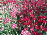 Purchase Perennials from Martin Nursery