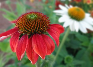 coneflower coolness