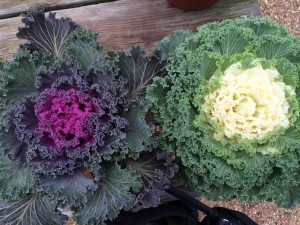 Nagoya White and Nagoya Red Kale